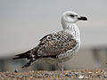 Great Black-backed Gull juvenile 2012RWD.jpg