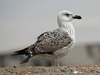 Great black-backed gull - Juvenile