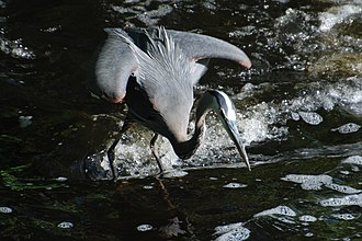 Watertown Dam - Image: Great Blue Heron readying to strike