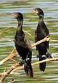 Great Cormorant (Phalacrocorax carbo) Photograph By Shantanu Kuveskar.jpg