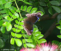 Great Eggfly female I IMG 2843.jpg