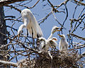 Great Egret (Ardea alba) chicks with parent in nest, Morro Bay H (2594536724).jpg