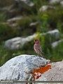 Great Rosefinch (Carpodacus rubicilla) (27463910563).jpg