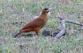 Great Rufous Woodcreeper (Xiphocolaptes major) foraging under cow pats ... (28117388502).jpg
