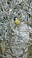 Great Tit - Parus major - geograph.org.uk - 1116299.jpg