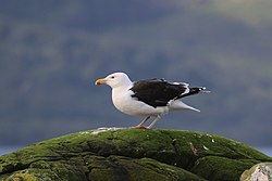 Great black-backed gull (Larus marinus) 2.jpg