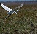 Great egret (6217463415).jpg