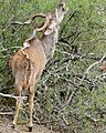 Greater Kudu (Tragelaphus strepsiceros) male browsing ... (33008193286).jpg