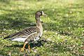 Greater white-fronted goose.jpg