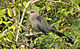 Green-billed Malkoha.jpg