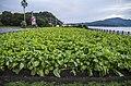 Green field near Lake Ikeda - panoramio.jpg