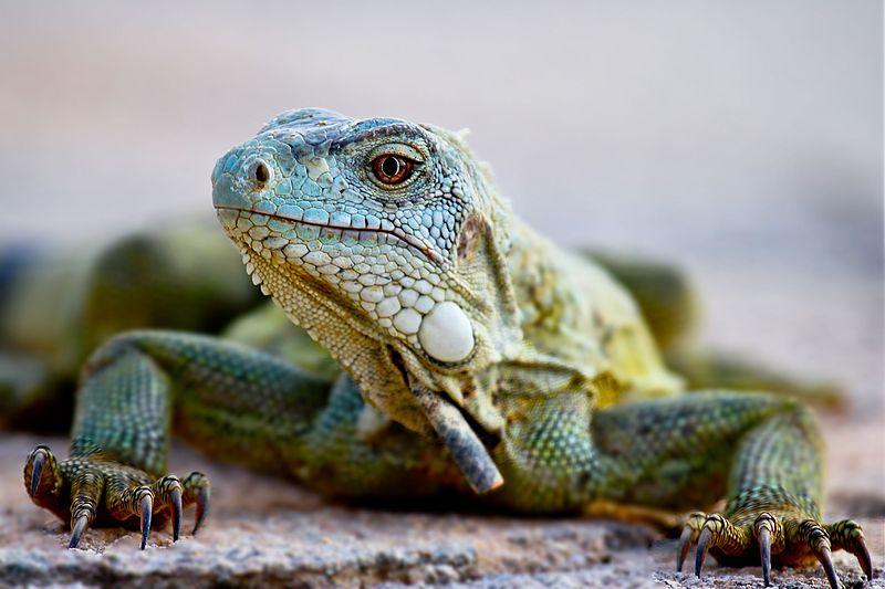 File:Green iguana Bonaire.jpg