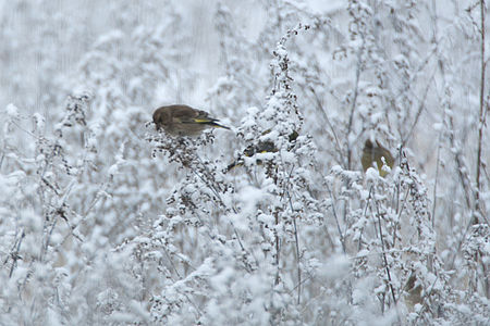 Greenfinch Lodz(Poland)(js)02.jpg