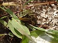 Grenouille verte (Pelophylax sp) - Baie de Somme.jpg