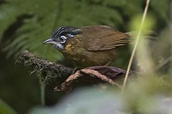 Grey-throated babbler Zuluk East Sikkim Sikkim India 24.05.2015 (cropped).jpg