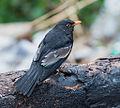 Grey-winged Blackbird (Trudus boulboul) in Chamfi, Nainital, Uttarakhand, India.jpg
