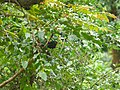 Grey-winged Blackbird - Turdus boulboul - P1040567.jpg