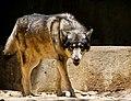Grey Wolf (5678125747).jpg