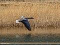 Greylag Goose (Anser anser) (34122096193).jpg