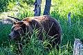 Grizzly bear (44673471112).jpg