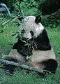 Großer Panda Yan Yan Berlin W 11.jpg