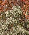 Groundseltree Baccharis halimifolia roadside bushes.jpg