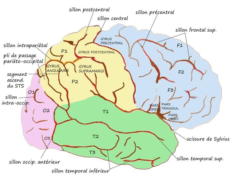 ILLUSTRATION : Gyrus supramarginal (Source : Wikimedia)
