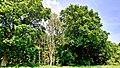 Hässeler Weiher von Neuenhaßlau - Bäume am Waldrand.jpg