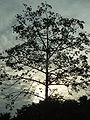 HK Kwun Tong 麗港公園 Laguna Park Tree evening sunset.JPG