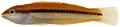 Halichoeres bivittatus - pone.0010676.g113.png