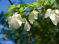 Handkerchief tree (8973075617).jpg