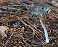 Hare's foot Inkcap (Coprinopsis Lagopus).jpg