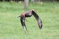 Harris Hawk - Woburn Safari Park - Explored -) (4551533891).jpg