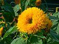 Helianthus annuus 'Honey Bear' (372249674).jpg