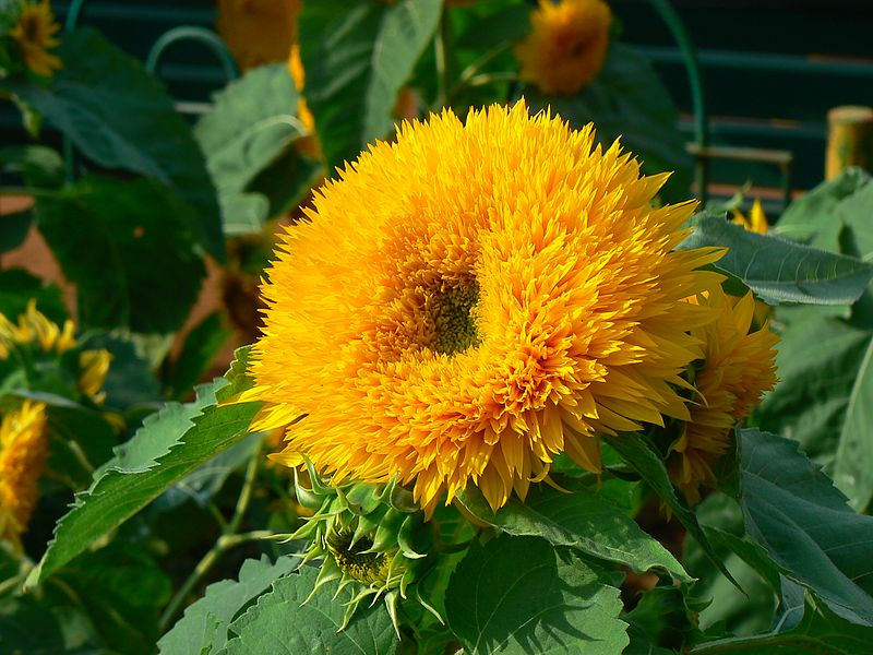 Helianthus annuus 'Honey Bear' (372249674)