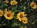 Helianthus grosserratus Sawtooth sunflower 8.27.2011.jpg