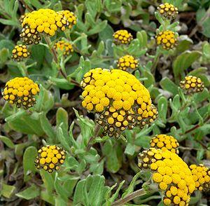 Strohblumen Helichrysum Basalti