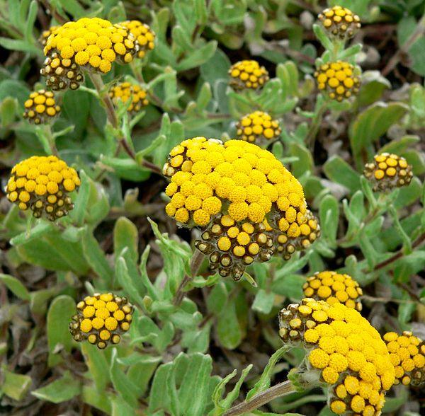 Strohblumen Trocknen strohblumen wikiwand