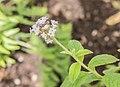 Heliotropium peruvianum in Jardin des 5 sens (2).jpg