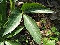 Helleborus lividus ssp. corsicus leaf.JPG