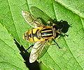 Helophilus affinus1.jpg