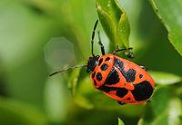 Hemiptera sp (1).jpg