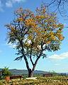 Herbstliche Baum.JPG