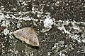 Herminiinae (31542751998).jpg