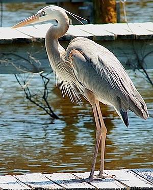 Estero River (Florida) - Great blue heron