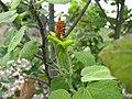 Hibiscadelphus distans (4813351193).jpg