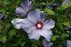 ze drim tim 230px-Hibiscus_bleu_2