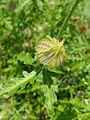 Hibiscus trionum 4.jpg