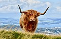 Highland Cow in Edinburgh.jpg