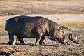 Hipopótamos (Hippopotamus amphibius), parque nacional de Chobe, Botsuana, 2018-07-28, DD 81.jpg